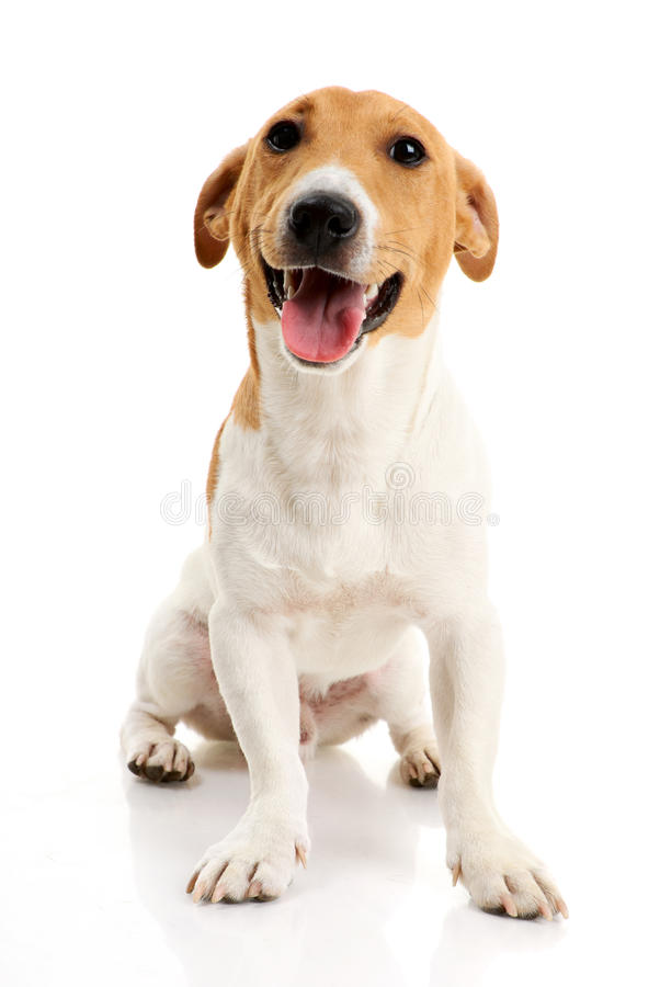 Free Jack Russell Terrier Stock Photo - 10604890