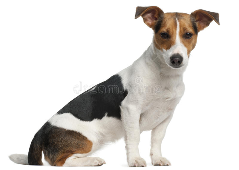 Jack Russell Terrier, 12 Months Old, Sitting Royalty Free Stock Photography