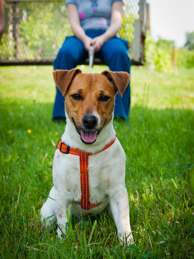 Jack Russell terrier. Young and adorable Jack Russell terrier pet dog, with red leash around his torso, sitting in green grass, and a woman holding a leash royalty free stock photos