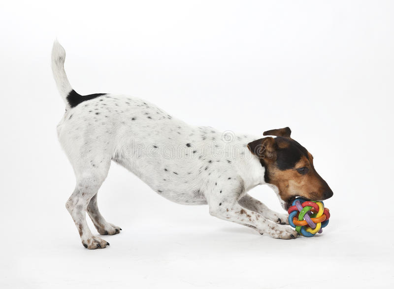Download Jack russell terrier stock image. Image of studio, white - 23621547