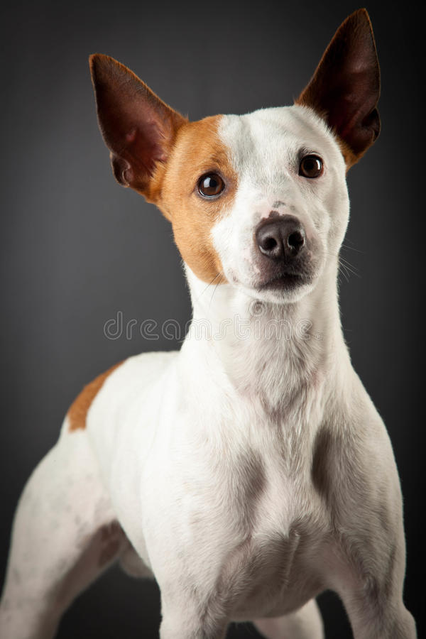 Download Jack Russell Terrier stock photo. Image of portrait, pose - 25769384