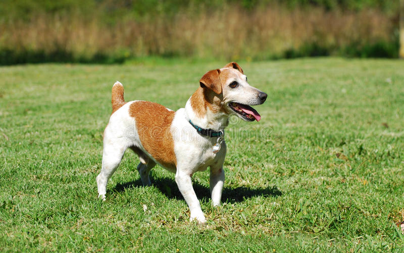 Download Jack Russell Terrier stock image. Image of outside, alert - 27086933