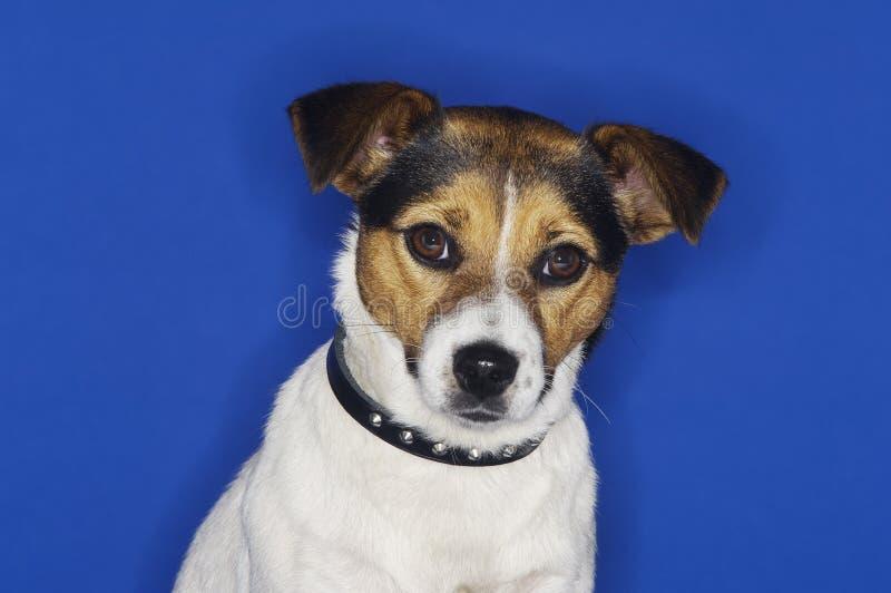 Jack Russell Terrier images libres de droits