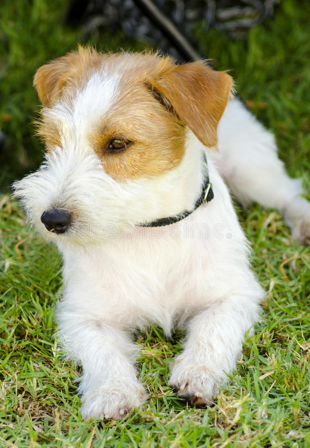Jack Russell Terrier stock afbeelding