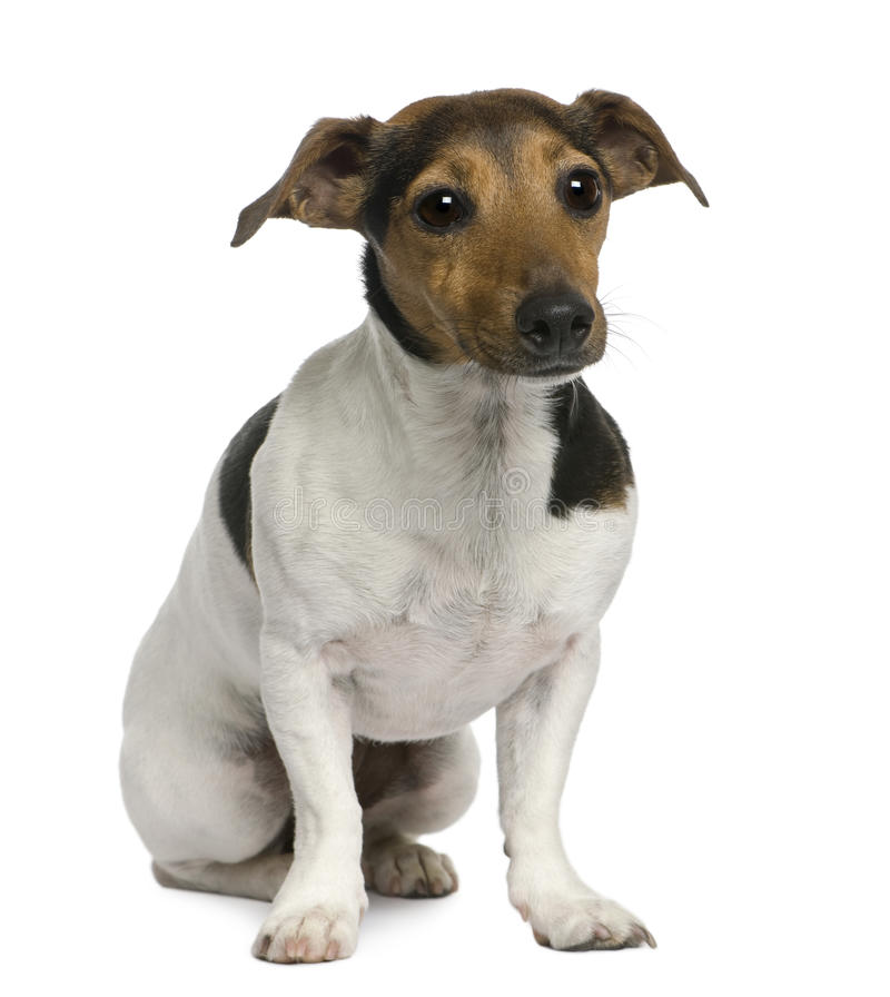 Download Jack Russell Terrier, 4 Years Old, Sitting Stock Photo - Image: 14886640