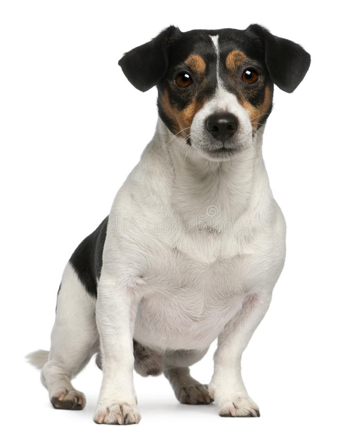 Jack Russell Terrier, 4 years old, sitting stock photography