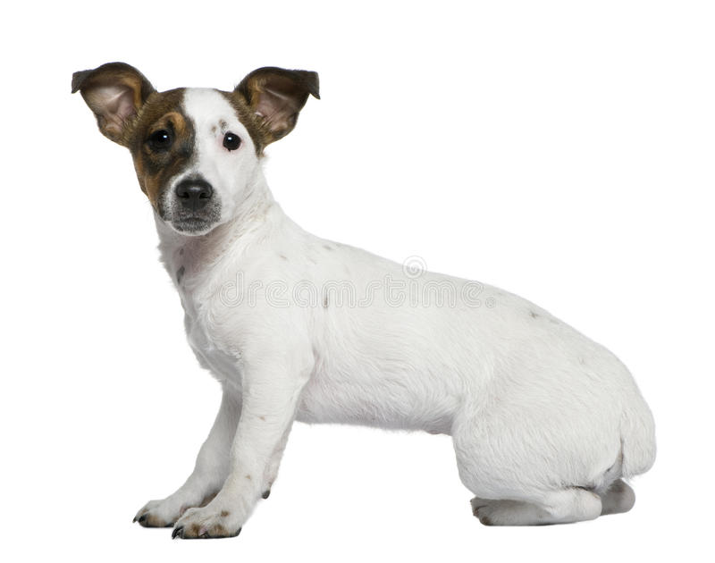 Jack Russell Terrier, 5 Months Old Stock Photo
