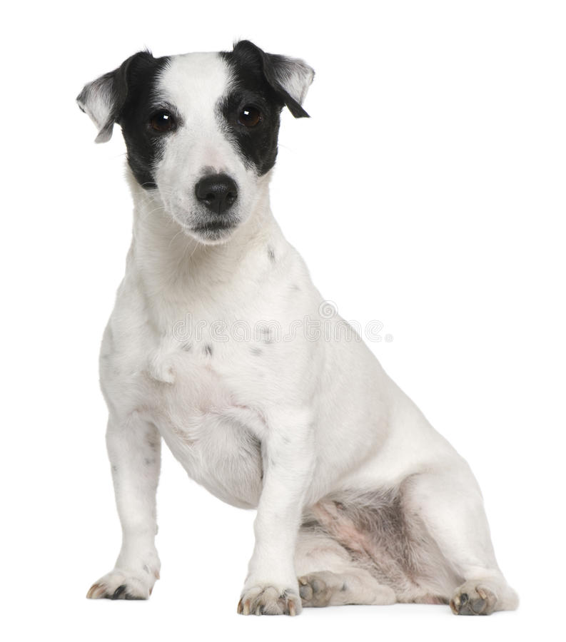 Download Jack Russell Terrier, 7 Years Old, Sitting Stock Image - Image: 14886281