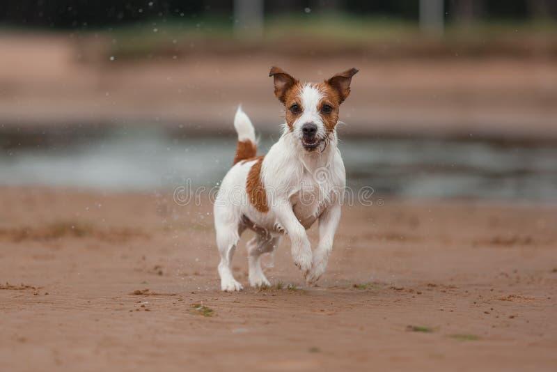 Jack Russell Terrier alegre fotografía de archivo