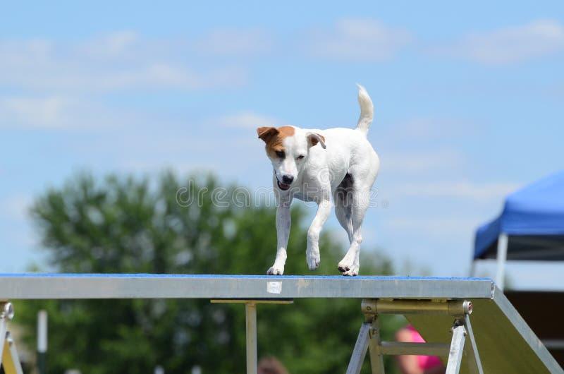 Jack Russell Terrier alla prova di agilità del cane immagini stock