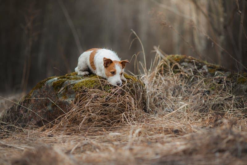 Jack Russell Terrier anda nas madeiras cão pequeno doce na natureza foto de stock