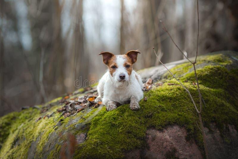 Jack Russell Terrier anda nas madeiras c?o pequeno doce na natureza fotos de stock royalty free