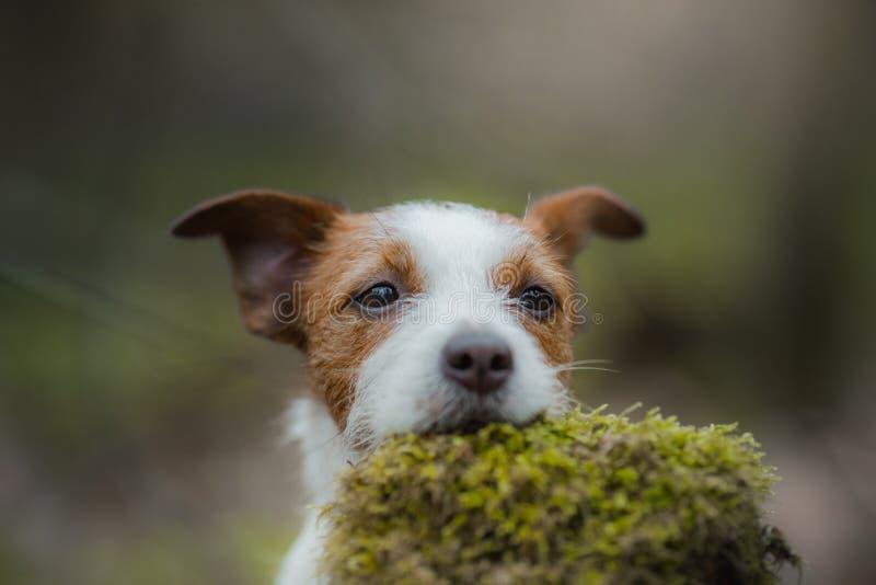 Jack Russell Terrier anda nas madeiras c?o pequeno doce na natureza imagem de stock
