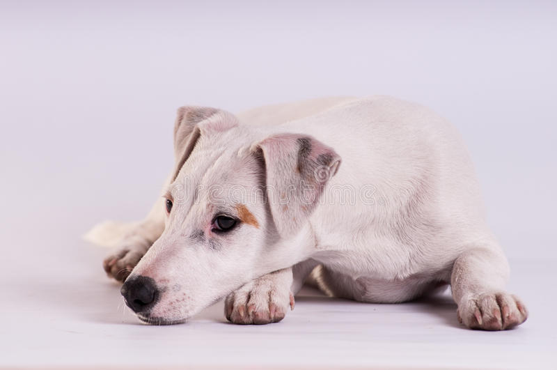 Jack Russell Terrier au studio sur le blanc photo libre de droits