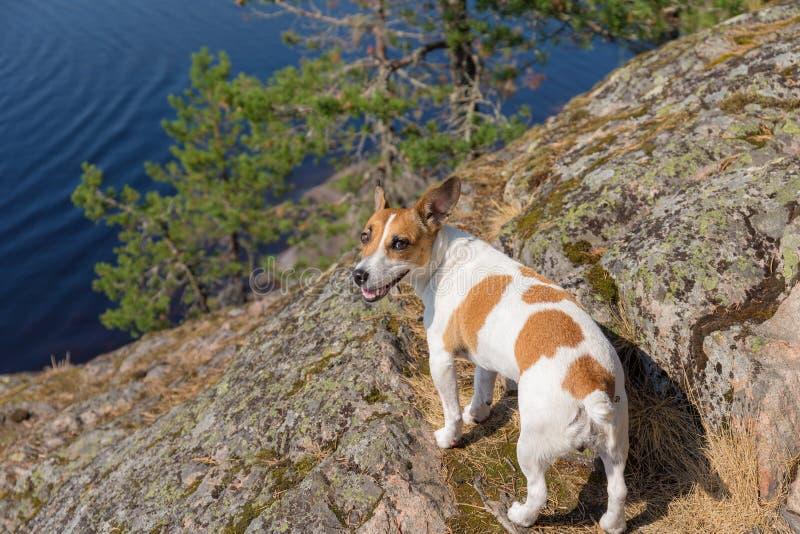 Jack Russell Terrier auf dem Seeufer stockbild