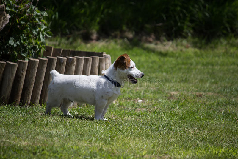 Jack Russell Terrier aux jambes courtes photographie stock
