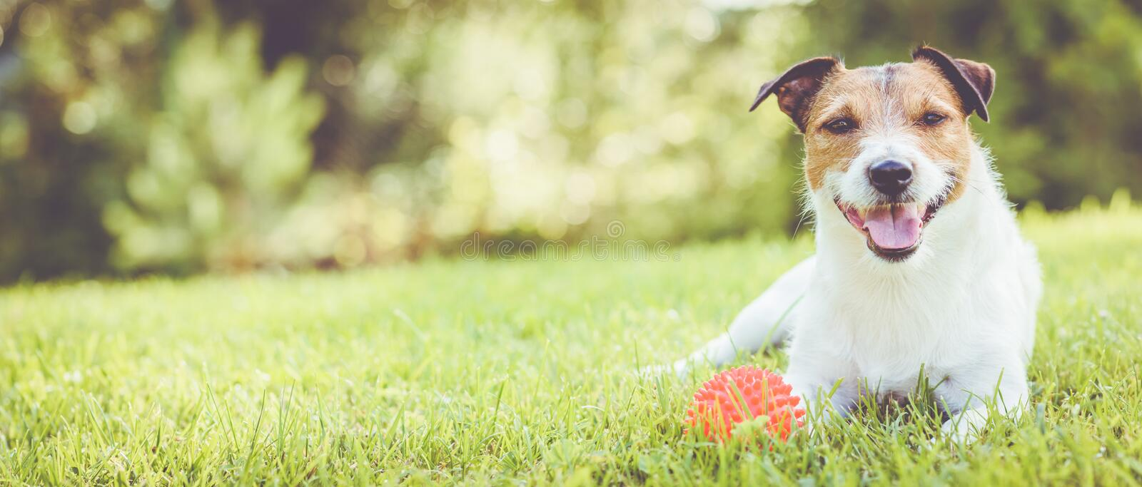 Pet dog lying on grass at sunny summer day panoramic crop royalty free stock photography