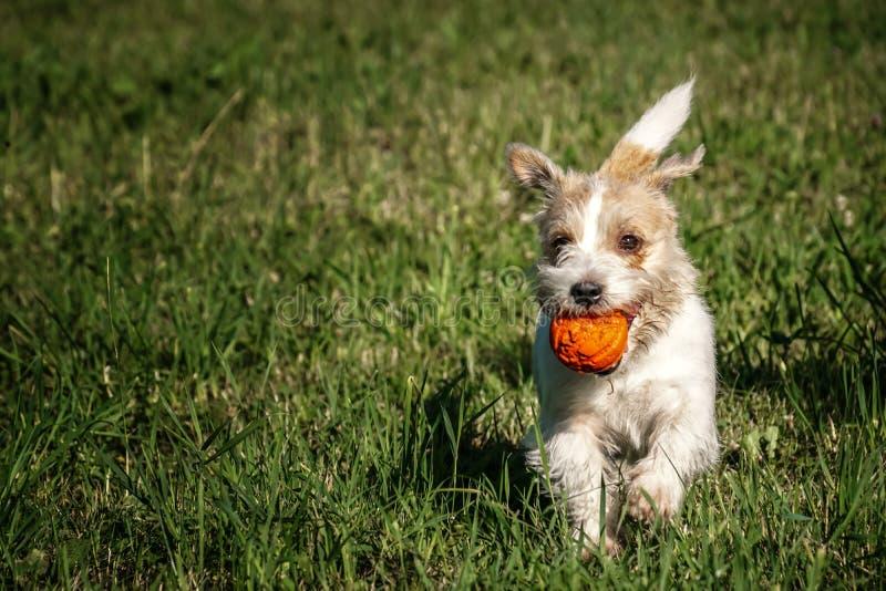 Jack Russell Terrier bawić się z pomarańczową piłką na trawie ilustracja wektor