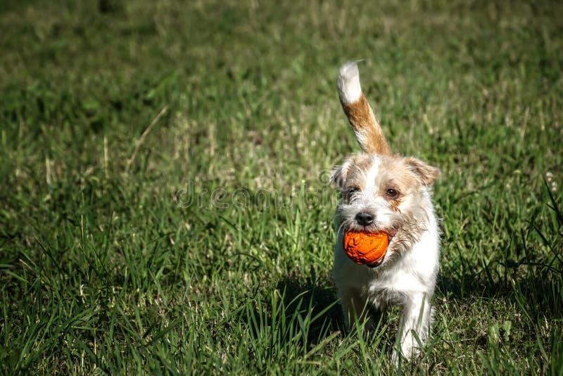 Jack Russell Terrier bawić się z pomarańczową piłką na trawie zdjęcie royalty free