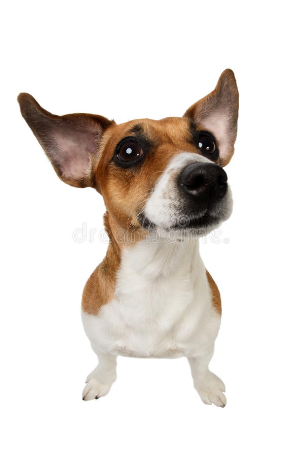 Jack Russell Terrier with big ears. Dog Jack Russell Terrier with big ears on white background stock photos