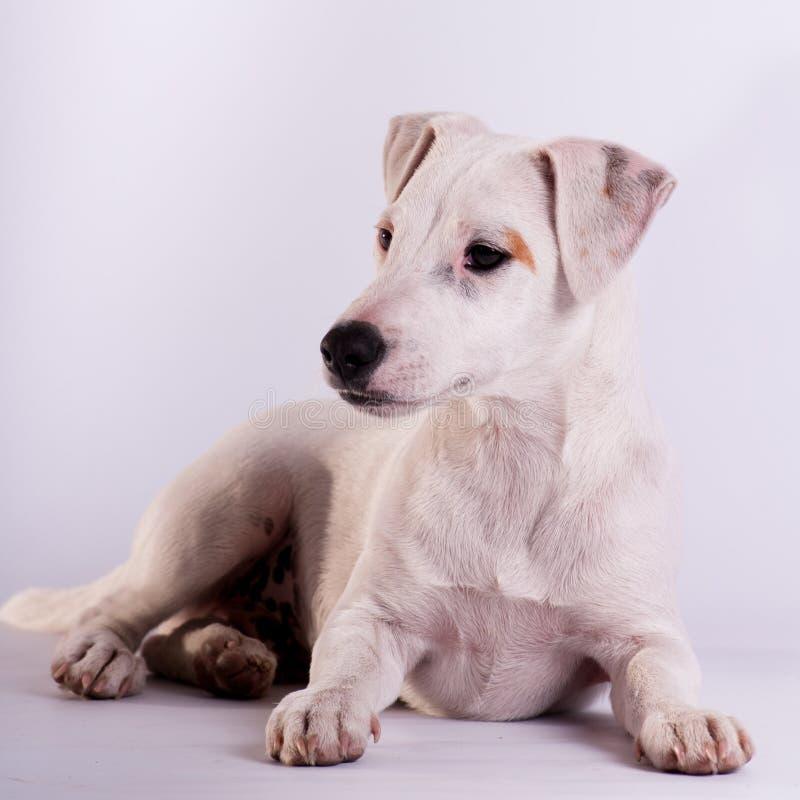 Jack Russell Terrier bij studio op wit stock foto's