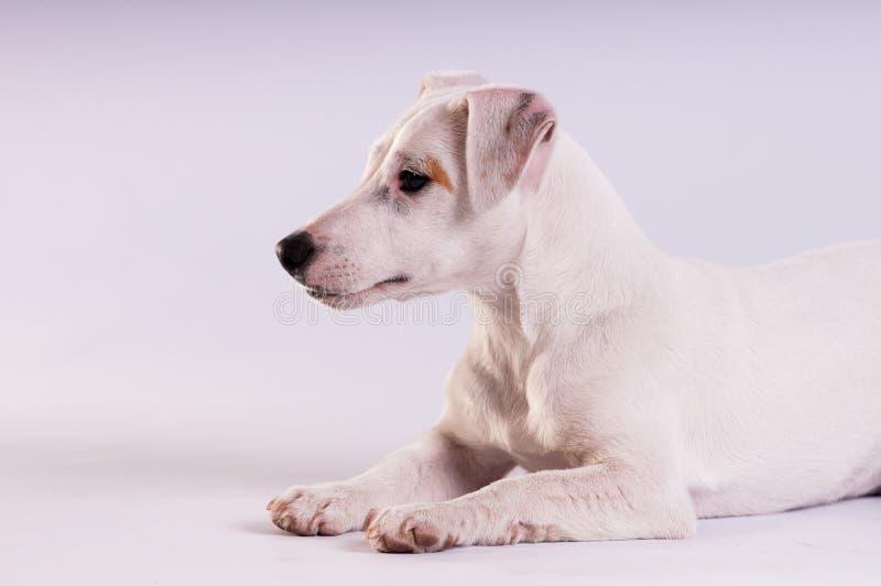 Jack Russell Terrier bij studio op wit royalty-vrije stock afbeelding