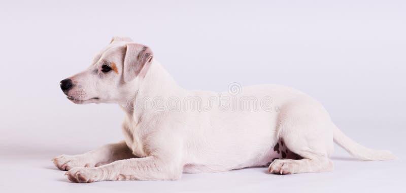 Jack Russell Terrier bij studio op wit stock foto