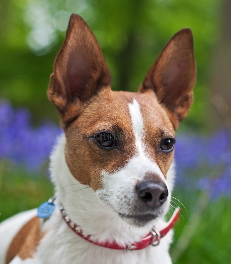 Jack Russell terrier in bluebell woods royalty free stock image