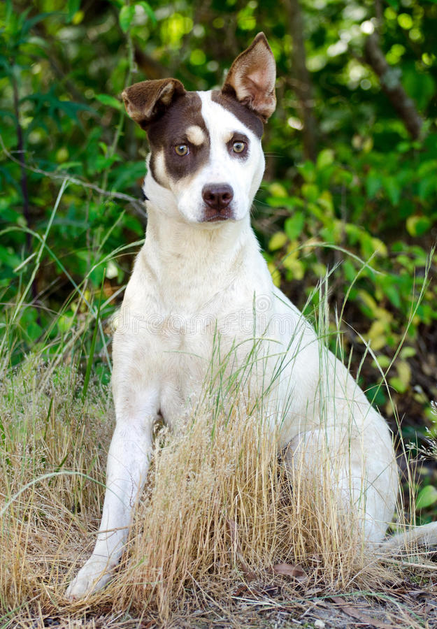 Jack Russell Terrier Cattledog Mixed Breed Dog. Walton County Animal Control, humane society adoption photo, outdoor pet photography royalty free stock images