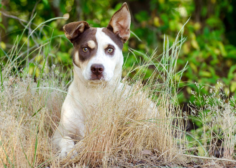Jack Russell Terrier Cattledog Mixed Breed Dog. Walton County Animal Control, humane society adoption photo, outdoor pet photography stock photo