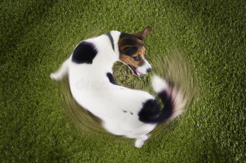 Download Jack Russell Terrier Chasing Tail Stock Image - Image: 31840229
