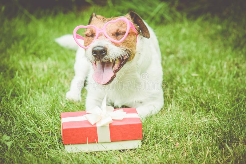 Valentine`s day gift box next to happy dog wearing heart shaped glasses royalty free stock image