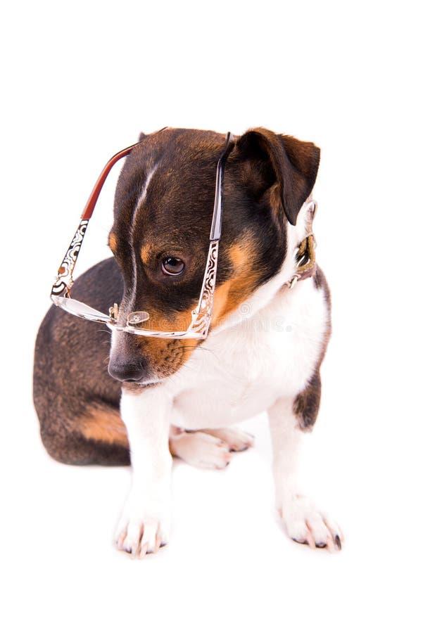 Jack Russell Terrier con los vidrios en un fondo blanco imagenes de archivo