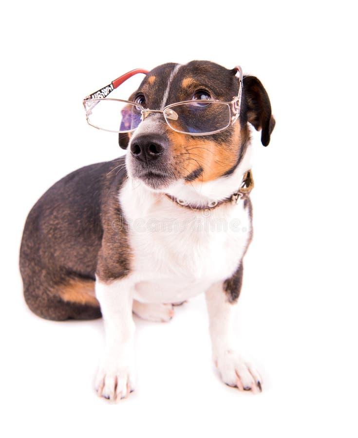 Jack Russell Terrier con los vidrios en un fondo blanco fotografía de archivo libre de regalías