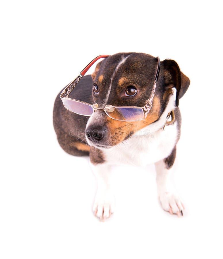 Jack Russell Terrier con los vidrios en un fondo blanco fotos de archivo