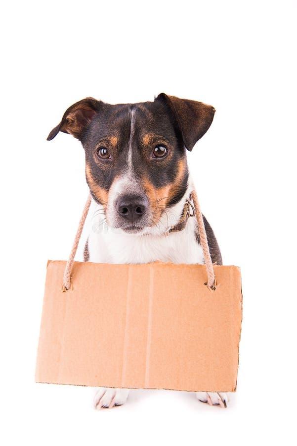 Jack Russell Terrier con una muestra en un fondo blanco; imagen de archivo