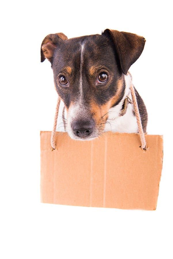 Jack Russell Terrier con una muestra en un fondo blanco; fotografía de archivo