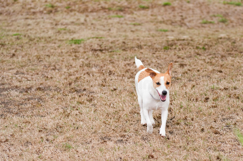 Jack Russell Terrier courant dans l'herbe photos stock