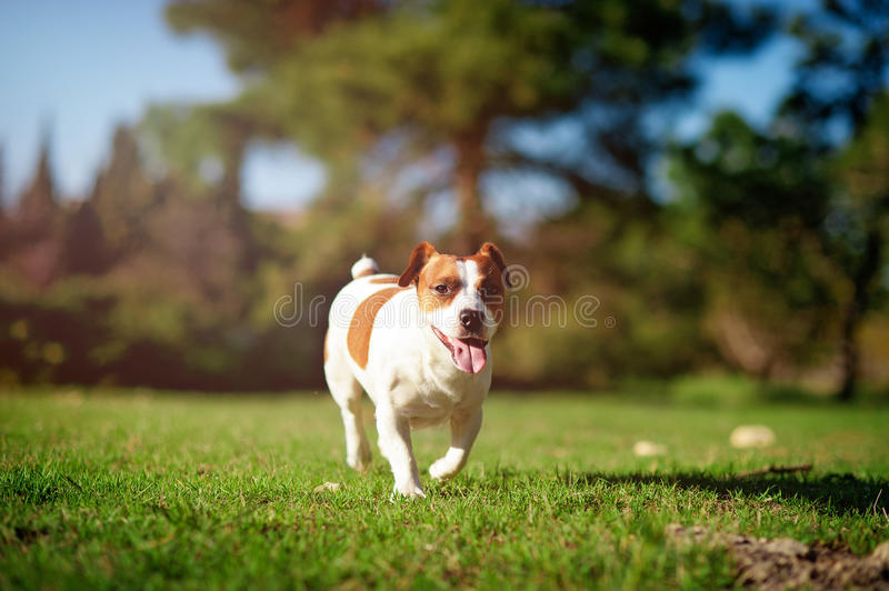 Jack Russell Terrier courant sur l'herbe verte photos stock