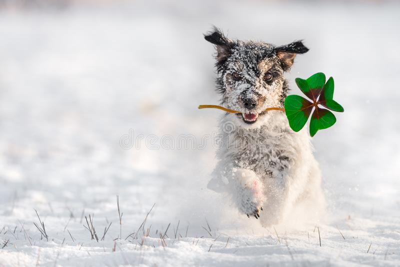 Jack Russell Terrier court dans la neige et porte un fou photos stock