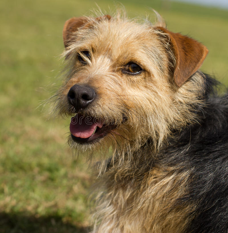 Jack Russell Terrier Cross royalty free stock photography