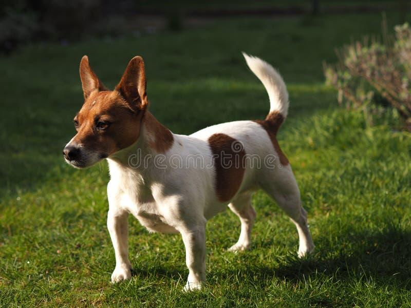 Jack Russell Terrier dans un jardin photos stock