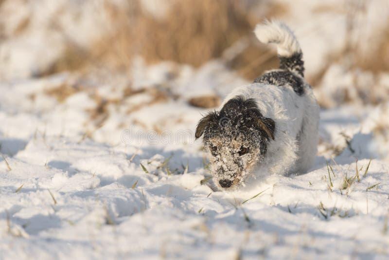 Jack Russell Terrier de race est défrichage par traînée photos stock