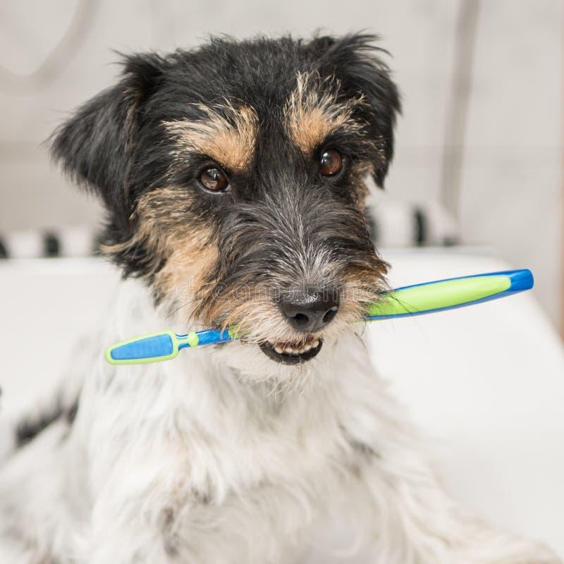 Jack Russell Terrier-de tandenborstel van de hondholding Klaar om de tanden te borstelen om de behoefte aan een tandarts te vermi stock afbeelding