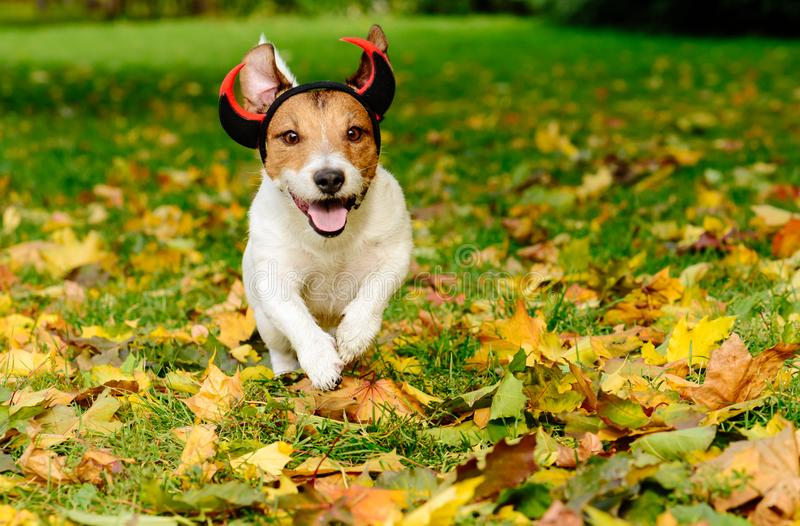 Dog in Halloween costume of funny spooky devil at autumn park stock images