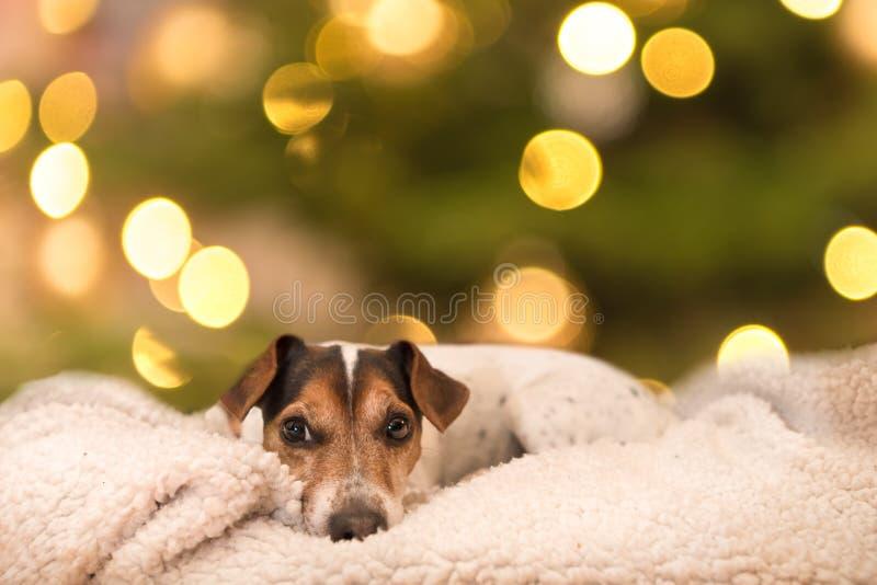 Jack Russell Terrier doce canino está encontrando-se em um descanso na frente do fundo dos blurres fotos de stock
