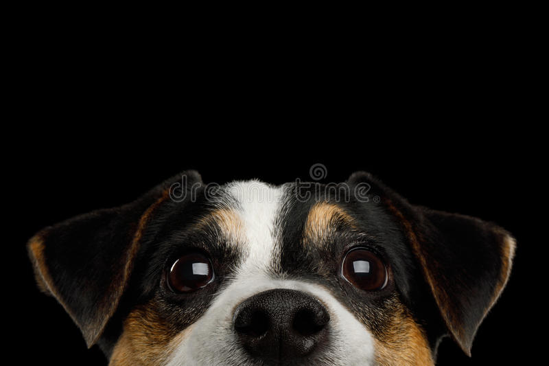 Jack Russell Terrier Dog on Black background. Closeup Portrait of Peeking Jack Russell Terrier Dog poking his nose isolated on Black background royalty free stock images