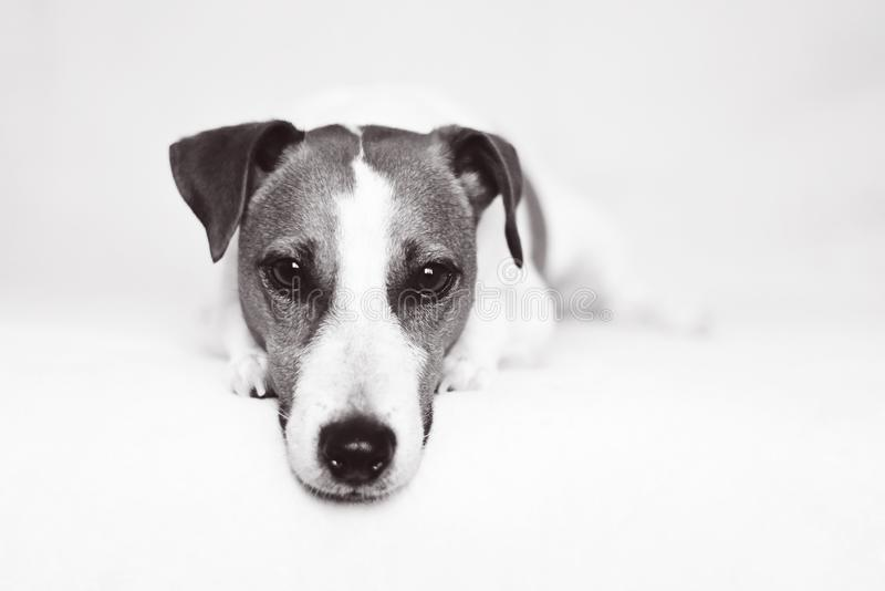 Jack Russell Terrier Dog com os olhos afiados do cão de cachorrinho foto de stock royalty free