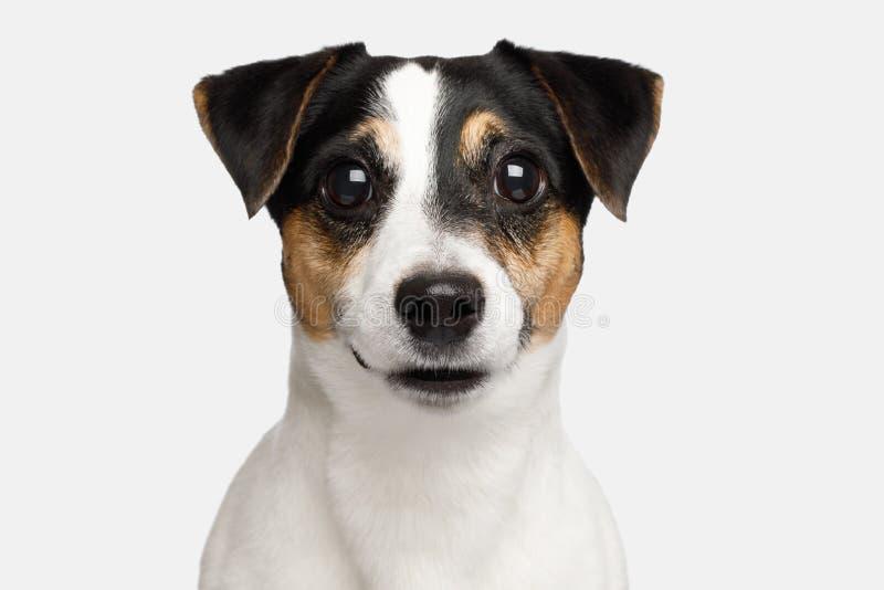 Jack Russell Terrier Dog en el fondo blanco imagen de archivo