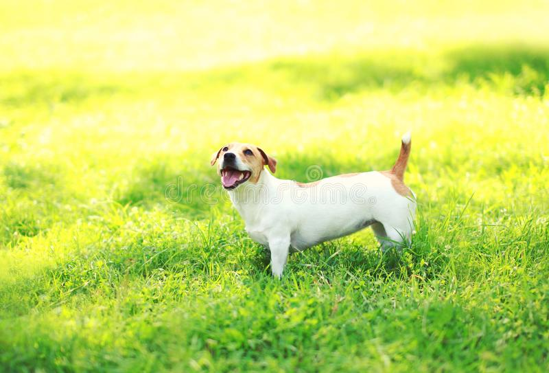 Jack Russell Terrier dog on the green grass at summer. Sunny day royalty free stock photos